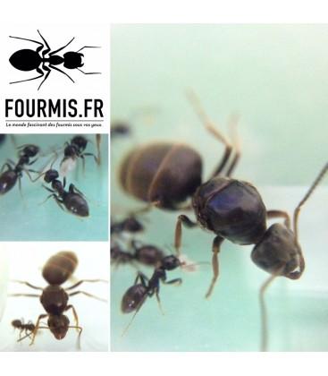 colonie de fourmis lasius niger facile à élever