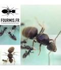 Pack All in 1 Ants Spheria Scotland + Lasius Niger