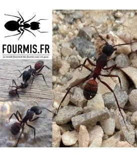 Reine Camponotus Cruentatus (Latreille, 1802)
