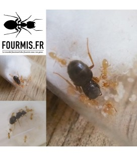 "LASIUS FLAVUS Colony of ""3 Gynes"" (Fabricius, 1781)"