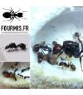 Pack prémium fourmilière Ants Spheria Scotland + Messor Barbarus