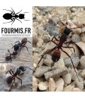 Pack prémium fourmilière Ants Garden + Camponotus Cruentatus