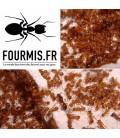 MYRMICA RUBRA (3 gynes/colonie + 40 à 60 ouvrières) (Linnaeus, 1758)