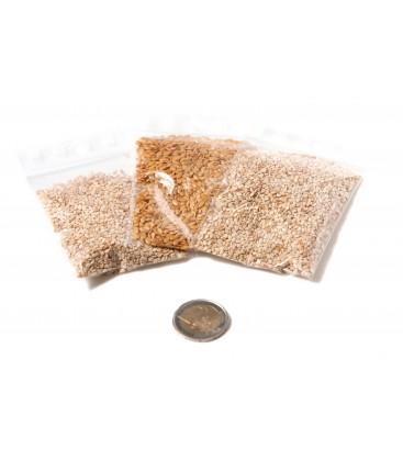 Kit 4 graines pour Messor Barbarus